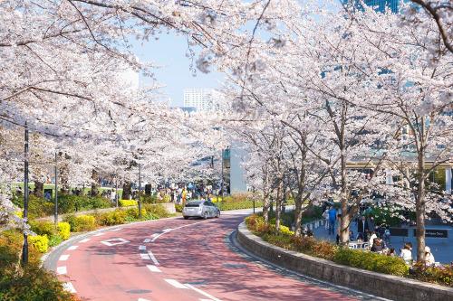 ≪Cherry Blossom Spots≫ Tokyo Midtown