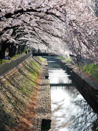 ≪Cherry Blossom Spots≫ Zenpukujigawa Green Park