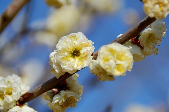 Odawara Flower Garden Ume Matsuri (Plum Festival)