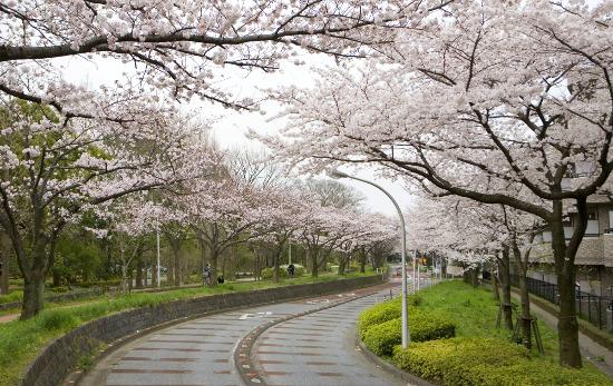 ≪Cherry Blossom Spots≫ Mizumoto Park