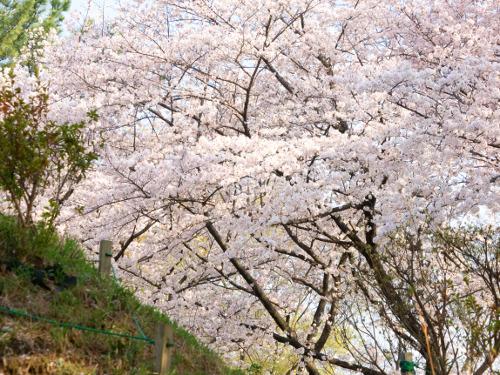 ≪Cherry Blossom Spots≫ Toyama Park