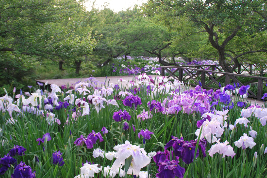 Japanese iris and Lotus Festival (Odawara Flower Garden)